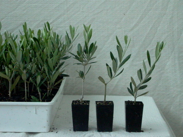 Olive nursery for Growing olive trees indoors